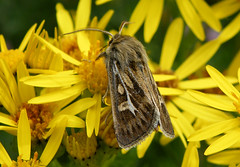 Antler Moth (wendyforbes) Tags: flower nature yellow scotland flickr fuji fife wildlife moth finepix atlas digitalcameraclub wendyforbes