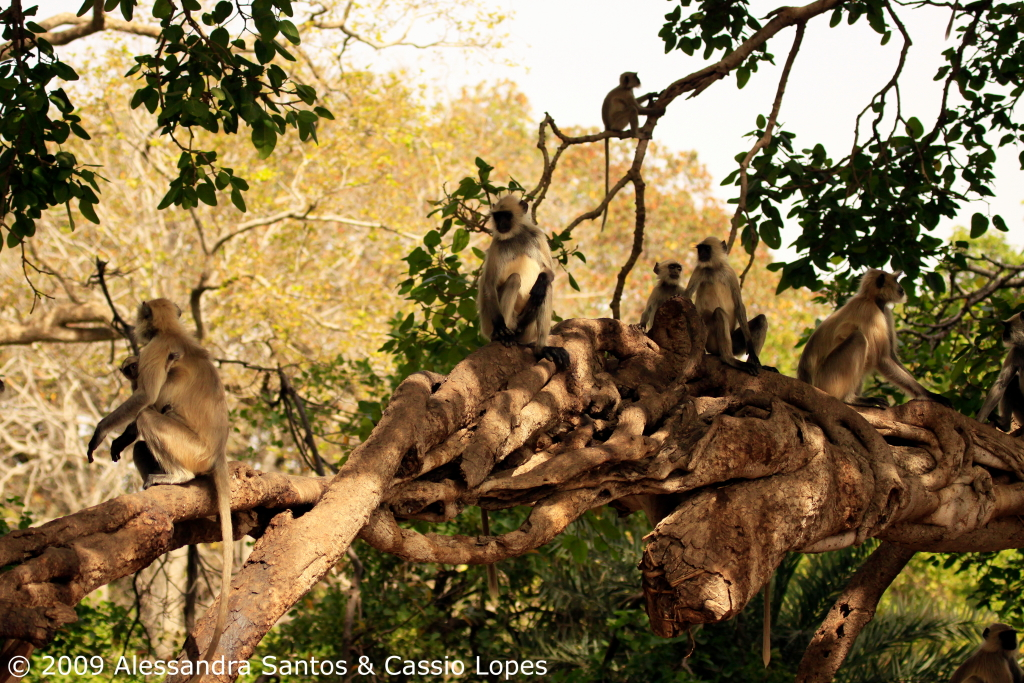 Langur Troop at Banyan Tree