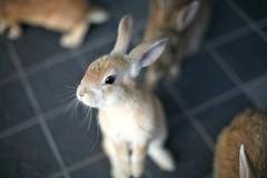 Rabbit Island  (Mikoaj) Tags: rabbit japan island hiroshima