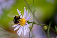 Jardin des Plantes-20 (MissDogo) Tags: paris macro fleur parc insectes jardindesplantes bourdon hym jardinalpin hyménoptères hymnoptres