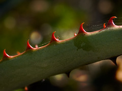 ouch! (explored) (Celeste M (site SO SLOW)) Tags: red cactus green flora spine pictureaday palosverdespeninsula
