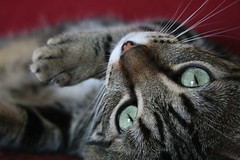 Meoooow (cybertokage) Tags: cat eyes otto kissablekat boc0809 bestofspecialpetportraits