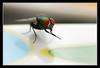 Green fly (matt :-)) Tags: macro verde green nature bug insect fly natura micro mattia mosca insetto calliphoridae greenfly naturesfinest lucilia 105mmf28dmicro macroextreme abigfave nikond80 moscaverde naturewatcher natureselegantshots consonni mattiaconsonni