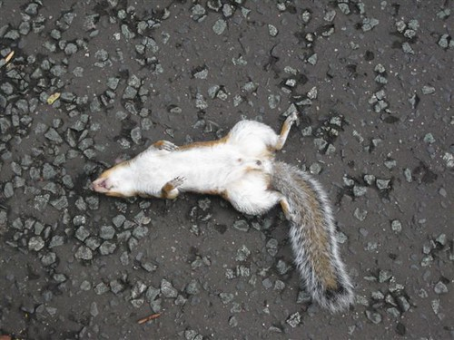 Dead Squirrel by idoru45
