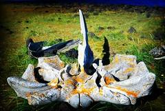 once a whale (cortomaltese) Tags: vertebra iceland whale bone lichen snæfellsnes irishmonks þjóðgarðurinnsnæfellsjökull írskrabrunnur irishwell