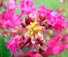 Crepe myrtle flower structure (Martin LaBar (going on hiatus)) Tags: pink flower macro beautiful closeup petals flor southc