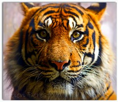 Look into my eyes... (Helen Beresford) Tags: orange black mammal stripes tiger whiskers bigcat londonzoo potofgold animalportrait specanimal mywinners flickrbigcats herbertfacetoface