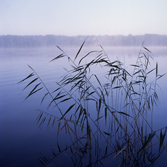 Sedge (citx) Tags: trip morning travel blue mist lake color art 120 6x6 film tourism beach nature water fog analog mediumformat reeds square relax photography photo haze bush paint village live unity earlymorning slide calm bronica silence harmony squareformat memory land fujifilm chilly ripples recreation positive satin emotions karelia provia e6 tone analogphotography glade provia100f karel norm morningmist rivage sedge softtones watersurface fujiprovia100f lastdayofsummer mformat bronicasqai zenzanon epsonv700 flickaday ps8028 squarevision zenzanon80ps