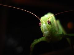 Dalmas (Diego S. Mondini) Tags: macro verde green bokeh cricket grilo macroinsectes