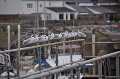 Gulls in a row (PietZa) Tags: uk england animal geotagged sitting gulls row line meeuwen engeland rij lijn zitten watchet zeemeeuwen geo:lat=51183372 geo:lon=3327785
