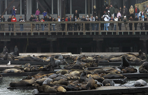 SEA LIONS PIER 39 (AP File Photo by Jeff Chiu)