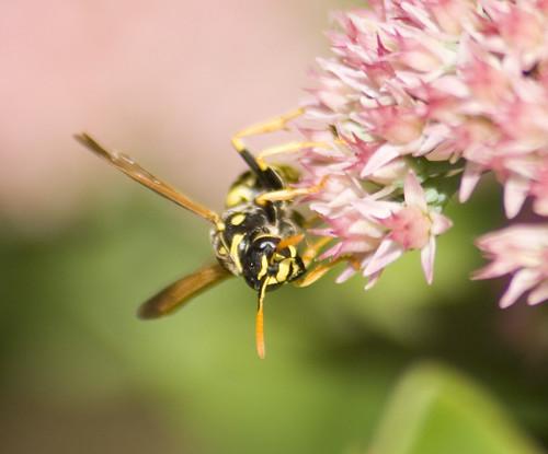 Polistes dominula paper wasp