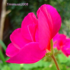 A pink flower for you, my flickr friend :) (Trinimusic2008 - stay blessed) Tags: pink toronto ontario canada flower nature flickr blossom bloom mygarden geranium octoberisbreastcancerawarenessmonth globalvillage2 october2009 trinimusic2008 mamasbloomers pinkribbonsforawareness loversofpink