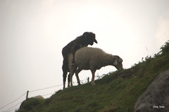 What sheep learnt from dogs (OneVish) Tags: india mountains wool sex fight cattle sheep tibet mating lonely himalayas himachalpradesh ontop triund mcleodgunj headfight sheepfight