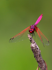 Magenta dragonfly - Crimson Marsh Glider (Trithemis aurora)  [Explored] (Tarique Sani) Tags: india macro nature animal insect fav50 dragonflies dragonfly wildlife insects fav20 fav30 insecte insectes libellule odonata fav10 libellules trithemisaurora odonate odonates fav40 fav60 crimsonmarshglider fav70