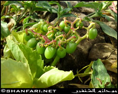 Tree Grape, Cyphostemma ternatum, Immature Fruits in Raythut, Salalah, Dhofar (Shanfari.net) Tags: flowers wild plants plant tree nature fruits fruit cow al flora cows natural ericsson sony id climbing grapes greenery cave climber vitaceae shrub oman grape salala zufar salalah  sultanate dhofar    khareef  haq     dufar    cyphostemma taqah     governate  ternatum  dhufar madeinat  darbat taiq c905 dofar ittin   raythut  thofar thufar cyphostemmaternatum