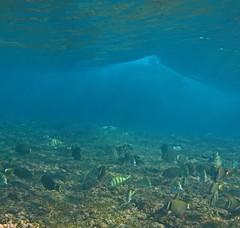 beneath the waves (bluewavechris) Tags: ocean life school sea fish water animal coral hawaii marine wave maui reef creature herbivore