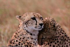 Cheetah brothers drying each other after rain at Maasai Mara - DAY01 _MG_8758 (Cassio Lopes & Alessandra Santos) Tags: africa nature animal mammal kenya wildlife safari bigcat cheetah savannah predator carnivore masaimara gamedrive maasaimara threebrothers bigcatdiary honeyboys