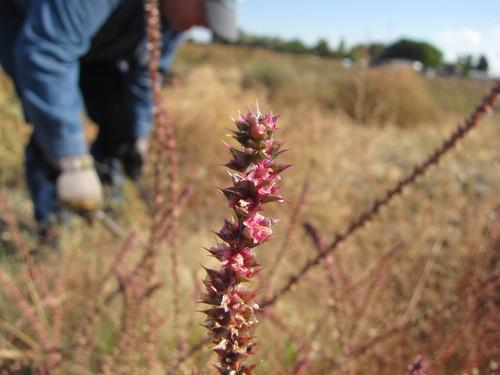 MAF weeds-1