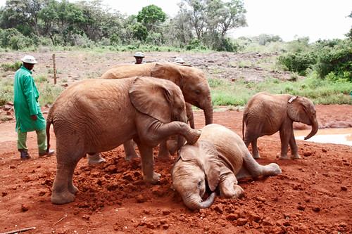 Baby Elephants Playing in the Mud