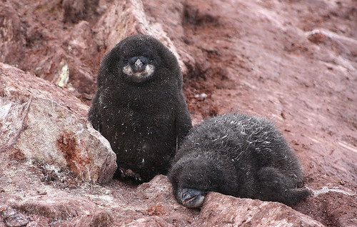 Molting and Satiated Adelies penguins chicks on Fish Island-February in Antarctica by Jo Sze