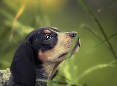 Stella - bluetick coonhound (Zach Boumeester) Tags: blue puppy dc nikon control hound coon f2 tick pup nikkor coonhound 135mm bluetick defo