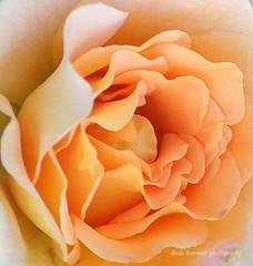 Rosa Honey Perfume (lynne_b) Tags: park flower nature rose garden petals illinois estate blossom rosa fragrant archives bloom rosegarden scented floribundarose cantignypark explored wheatonillinois rosewithaname rosahoneyperfume