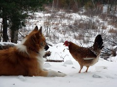 A boy and his chicken (LisaNH) Tags: snow chicken farm sheepdog nh swamp endangered hen rare icelandic featheryfriday icelandicsheepdog icelandicchicken mackhillfarm onephotoweeklycontest creativecomments growfood verycarefullytogetthisshot idroppedaloadoffirewood