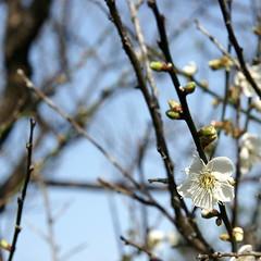 Plum (ddsnet) Tags: plant flower sony plum hsinchu taiwan    900     900