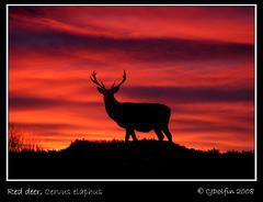 Sunrise Stag (cjdolfin) Tags: nature silhouette sunrise mammal stag wildlife deer reddeer antler cervus elaphus cervine