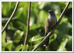Plaintive Cuckoo (Cacomantis merulinus), adult male (Z.Faisal) Tags: bird nature nikon beak feathers aves nikkor bangladesh cuckoo avian bipedal bangla faisal feni desh d300 zamir plaintive cacomantis pakhi plaintivecuckoo cacomantismerulinus endothermic nikkor300mmf4 muhuri kokil zamiruddin zamiruddinfaisal koroonkokil koroon merulinus zfaisal muhuriproject muhuridam sorgom
