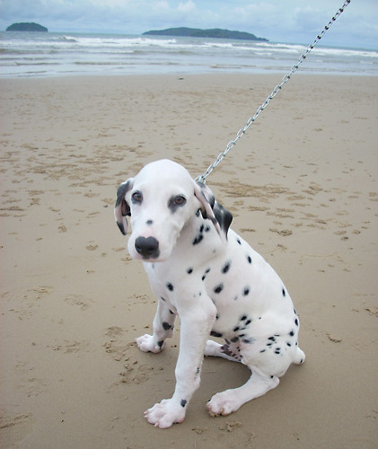 dalmation at the beach