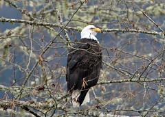 IMG_8591-2 (sherrie.tallman) Tags: river bald skagit eagles