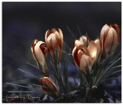 Midnight Crocus (Tracey Tilson Photography) Tags: flower nature 50mm nc spring nikon north crocus midnight carolina february 2009 picnik d90 godblessthiscansell