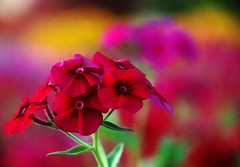 Color riot! (Amar Jain) Tags: flowers colors bokeh overtheexcellence vosplusbellesphotos