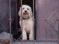 window woofer (msdonnalee) Tags: dog chien pet window animal cane  perro terrier hund shutters doggy mansbestfriend  doggie chickenwire womansbestfriend shaggydog doggieinthewindow windowgrill impressedbeauty lavendershutters mauveshutters photosbydonnacleveland