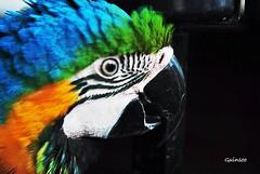 parrot (Guinsoo) Tags: macro bird parrot macau nikond60 guinsoo mwqio nikorr60mm