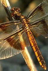 Widow Skimmer (Libellula luctuosa) (Victor W. Fazio III) Tags: oklahoma dragonfly widowskimmer odonata libellulidae otw libellulaluctuosa comanchecounty fortsillmr mwqio