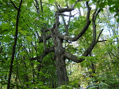 scary tree (kennethkonica) Tags: trees green leaves woods bark limbs branchs