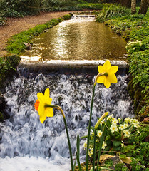 Stream and spring flowers at the 13th century Mottisfont Abbey in Hampshire (Anguskirk) Tags: uk england garden waterfall spring stream eu hampshire font mansion daffodils priory countryhouse primroses 13thcentury mottisfontabbey vosplusbellesphotos augustiniancanons