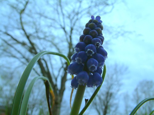 Grape Hyacinth 1