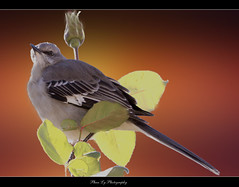 Tulsa Bird (EXPLORE) (熊.陈美芬.Phan Ly Photography.On/Off) Tags: sky flower bird photography freedom bravo favs excellence phan naturesfinest canon30d supershot top20colorpix golddragon anawesomeshot goldstaraward