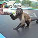 Monkey with Bottle