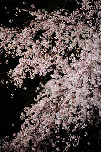 Sakura in the night ...fascinating cherry blossoms