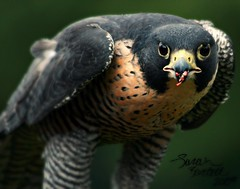 Peregrine Falcon (Little Lioness) Tags: bird intense eating hunting raptor falcon stare peregrinefalcon falcoperegrinus vosplusbellesphotos