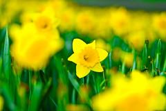 perth dafidols (aminperth) Tags: sunset flower green canon eos scotland bokeh d royal engineering perth airline f18 18 brunei 1000 yallow dafidols spring2009 1000d rbet