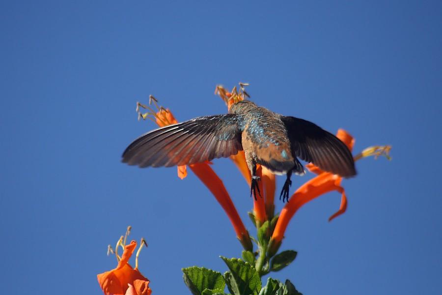 Allen's Hummingbird1407091