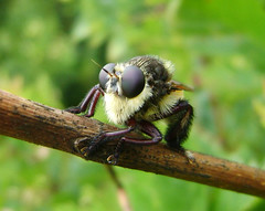 Robber Fly, Humble, Texas 0722091152 (Patrick Feller) Tags: unidentified insect bee zztop backyard humble harris county texas beard sunglasses billygibbons cmwd cmwdgreen united states north america
