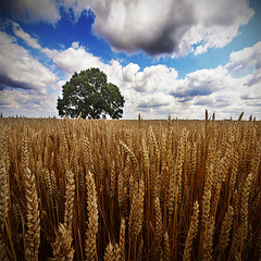 golden july [V2] (Paul Petruck) Tags: summer sky tree nature landscape rye seenintheinterestingnessarchives