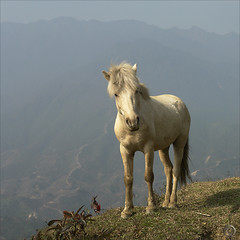 My little Pony (NaPix -- (Time out)) Tags: horse mountains 6x6 nature square landscape asia ngc vietnam explore pony npc southeast unicorn sapa hmong pang highaltitude topten l
